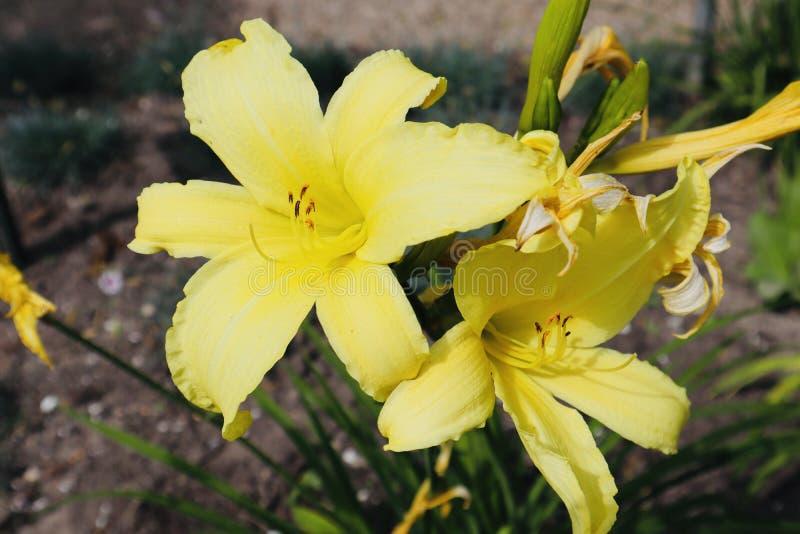 开花在领域的黄色美丽的花 免版税库存图片