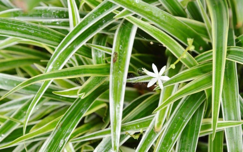 开花在龙血树属植物植物丛中的白色杂草花 免版税库存图片