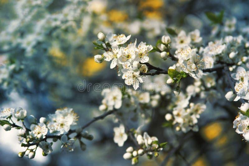 开花在4月的美丽的樱桃 r 在蓝色背景的樱桃树开花 美好的柔和的白色 免版税图库摄影