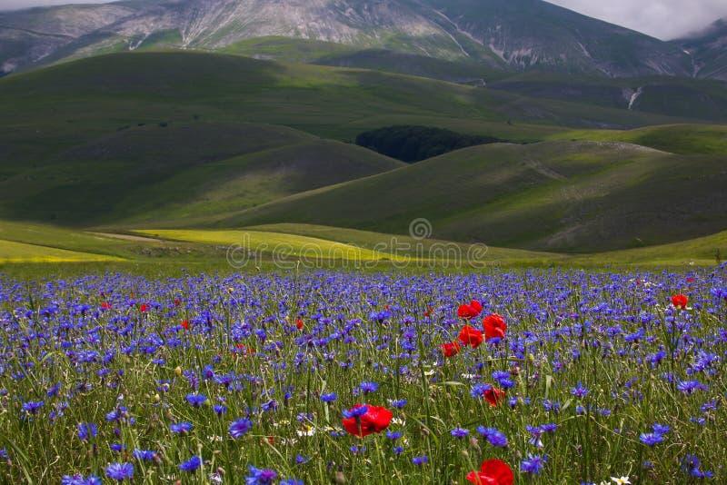 开花在Pian重创Castelluccio二诺尔恰,翁布里亚,意大利 库存照片