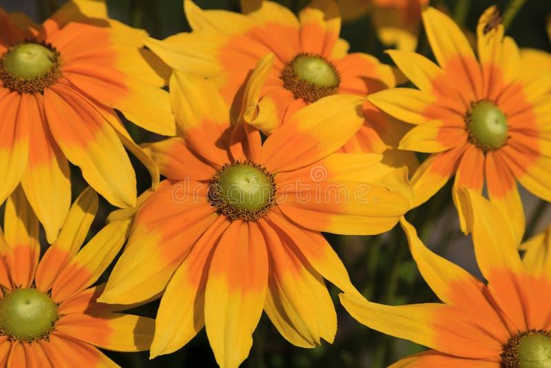开花夏令时的黄色黄金菊花 库存照片
