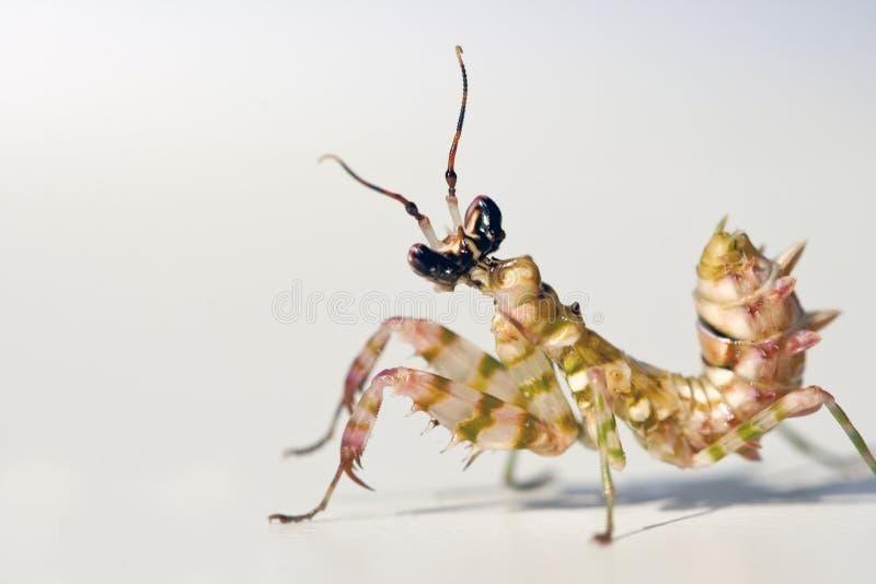 开花多刺的螳螂 免版税库存照片