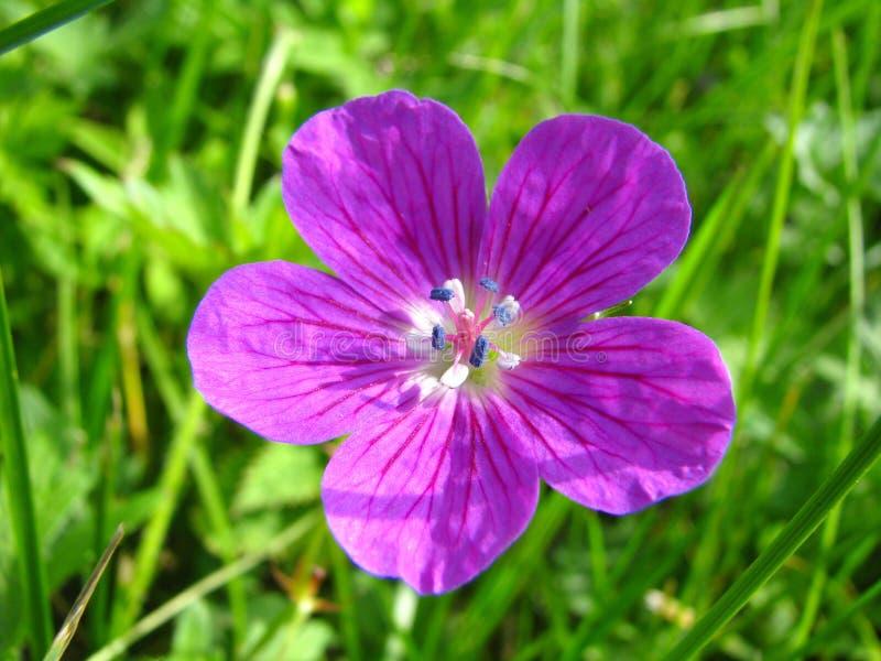 开花大竺葵sylvaticum紫罗兰木头 库存图片