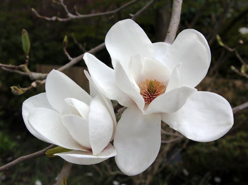 开花大花的木兰 库存图片