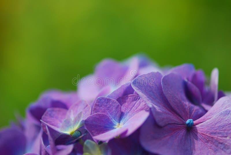 开花宏观紫色 免版税库存图片