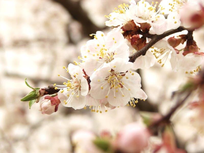 开花小的春天墙壁白色 库存图片