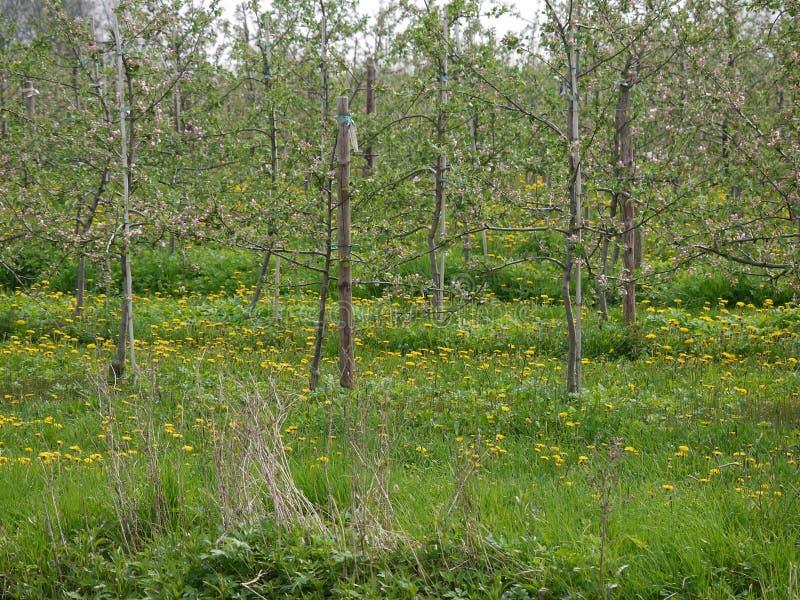 开花干草和的杂草在前景,苹果树,栓了对杆,入草甸用开花的蒲公英,详述的看法 库存图片