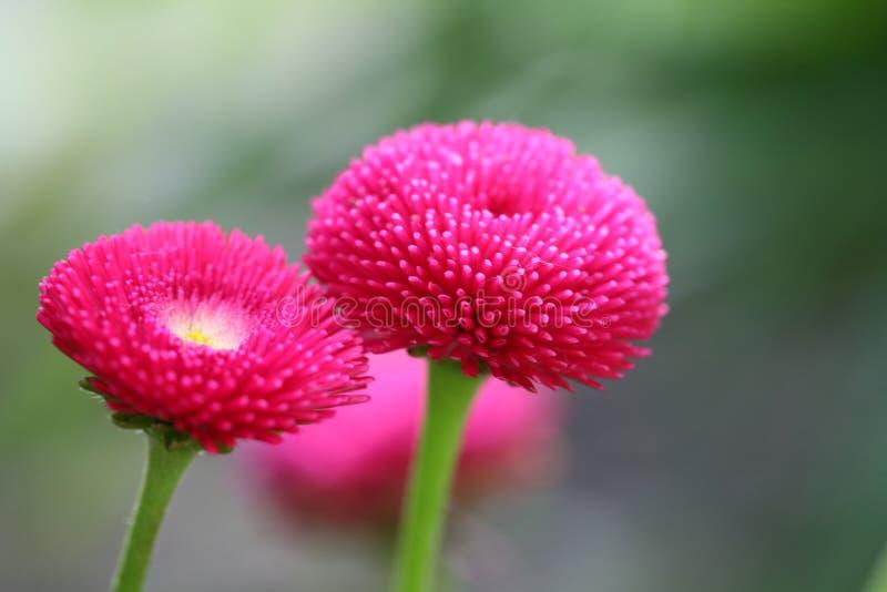 开花延命菊粉红色 图库摄影