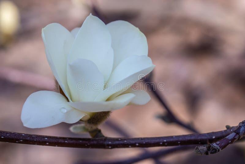 开花开花反对花背景的木兰  免版税库存图片