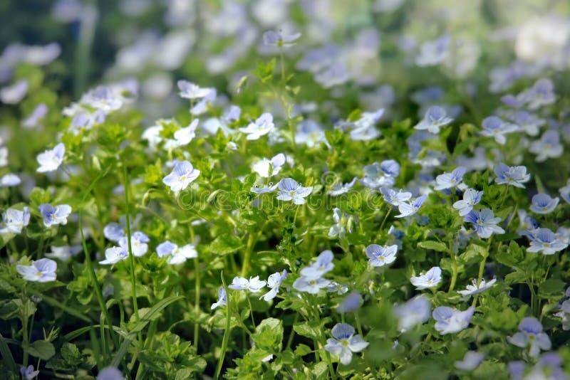 开花户外在春天的Veronica花 免版税库存照片