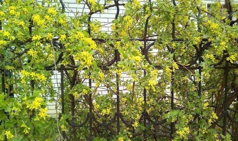 开花无核小葡萄干的灌木在金属篱芭附近 图库摄影
