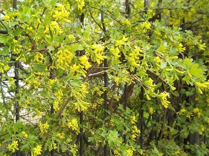 开花无核小葡萄干的灌木在金属篱芭附近 库存图片