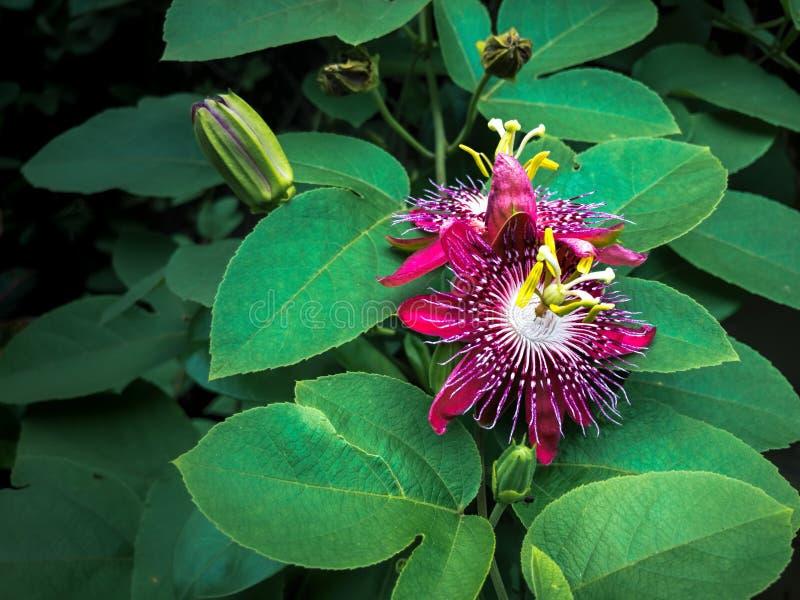 开花早晨的紫罗兰色激情花藤 库存图片