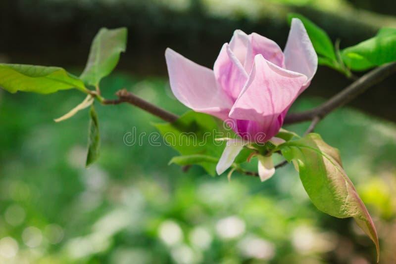 开花春天的美丽的桃红色木兰花在阳光下 免版税库存照片