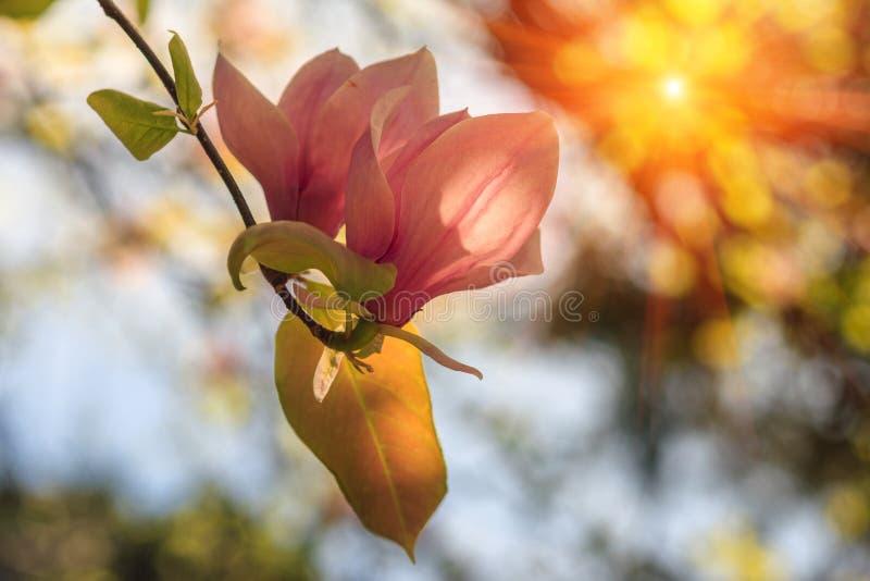 开花春天的美丽的桃红色木兰花在阳光下 免版税库存图片