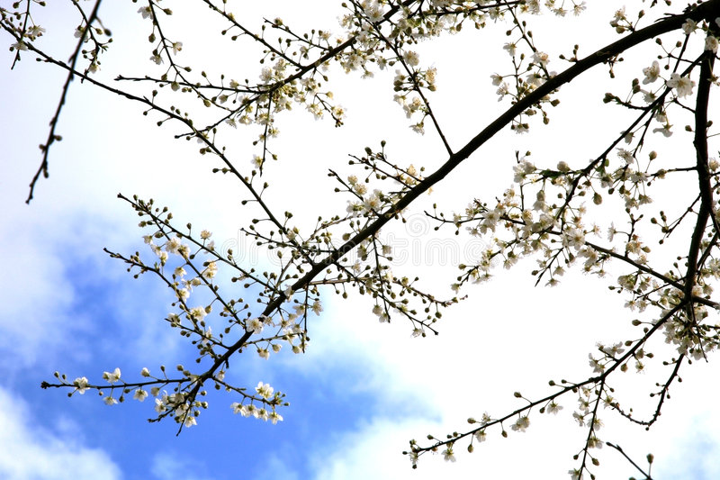 开花春天结构树 库存图片