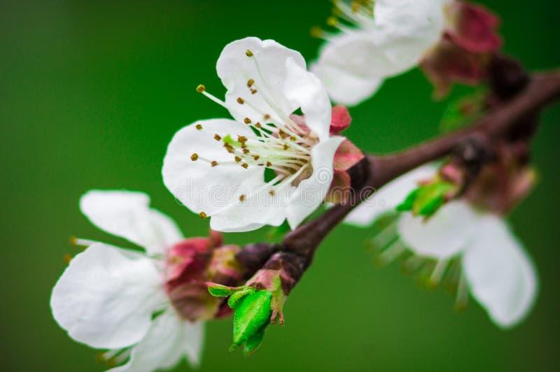 开花春天苹果树分支 免版税图库摄影