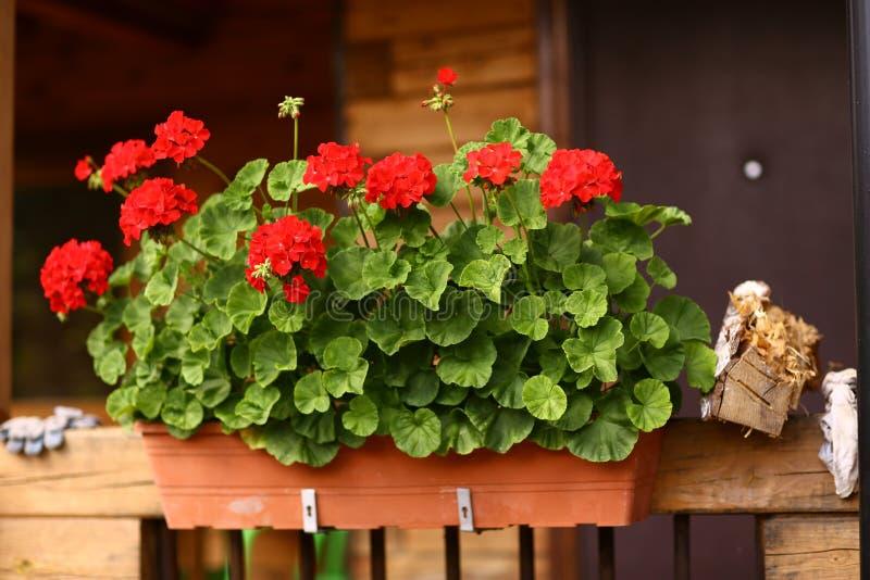 开花有大竺葵花的箱子在村庄房子门廊 库存照片