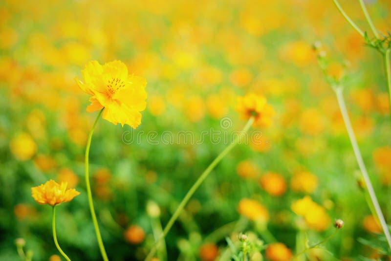 开花有被弄脏的背景的黄色波斯菊 库存照片