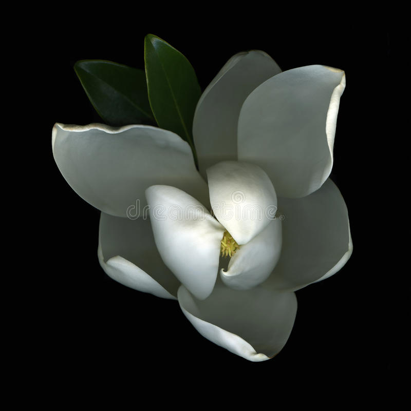 开花木兰白色 库存图片