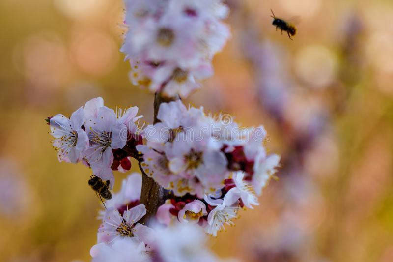 开花杏子分支的关闭与与一点蜂的白色和桃红色花在花和飞行在树附近在春天 库存图片