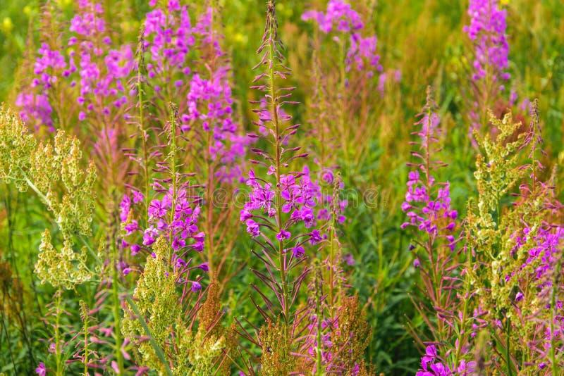 开花柳草草甸  桃红色开花的突围花的领域 免版税库存图片