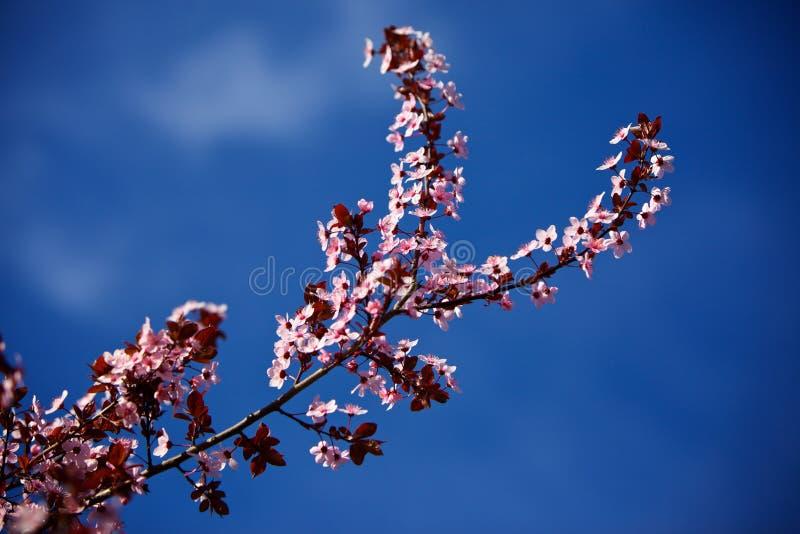开花桃树 库存照片