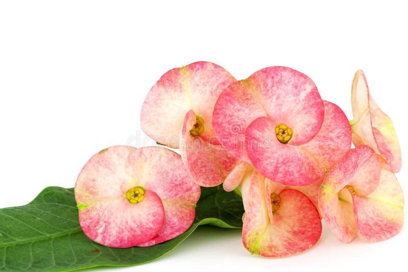 开花桃红色大戟属milii的花,基督刺,在白色背景隔绝的Poi西安花 库存图片