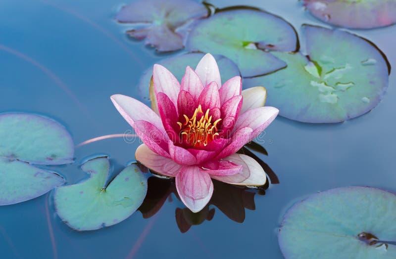 开花桃红色荷花在池塘 免版税图库摄影