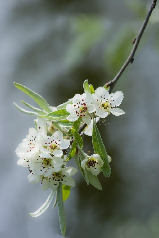 开花梨春天结构树白色 库存图片