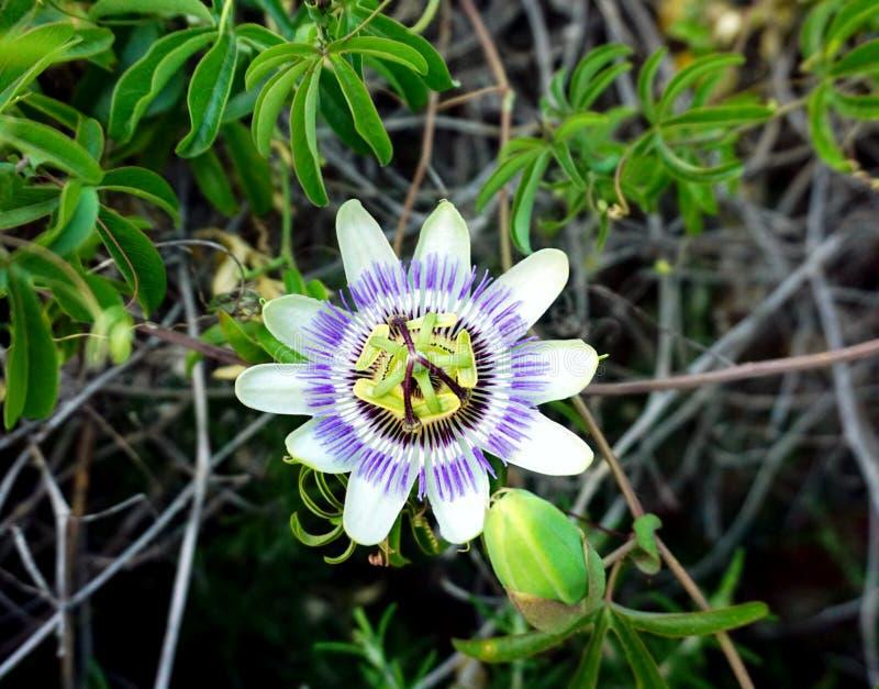 开花植物西番莲caerulea 蓝色西番莲或蓝色冠花在图片的中心 免版税图库摄影