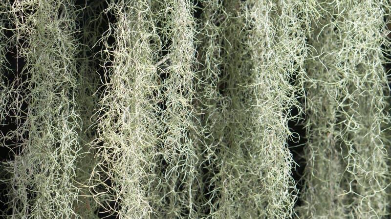 开花植物:寄生藤(铁兰usneoides) 库存照片