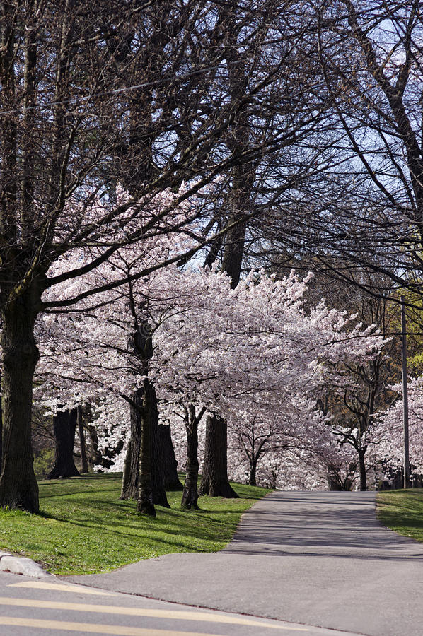 开花樱桃公园 库存图片