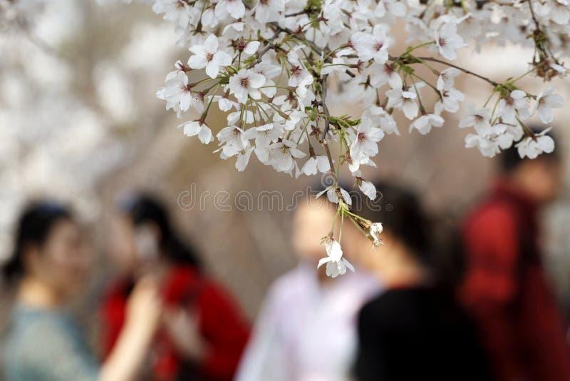 开花樱桃季节 免版税库存照片