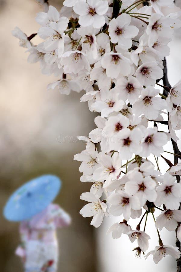 开花樱桃季节 库存照片