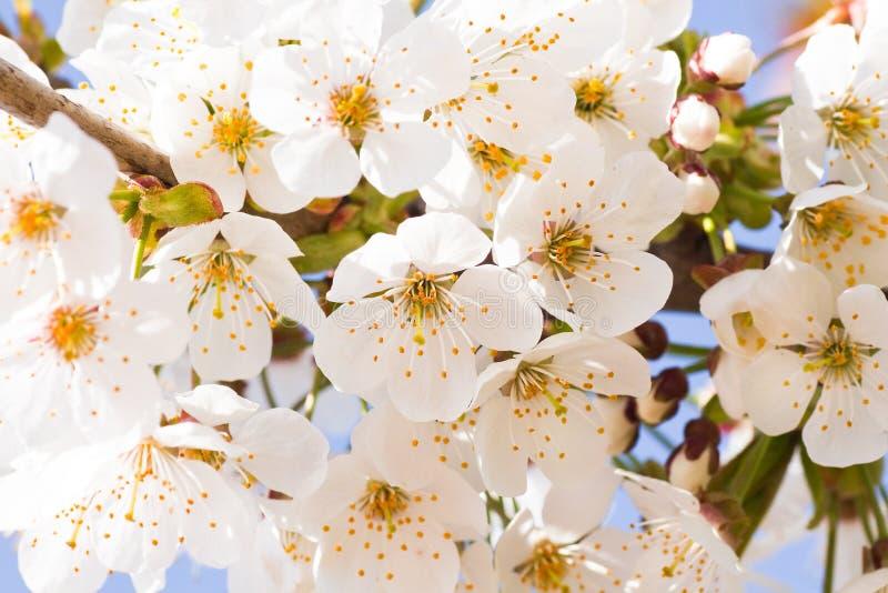 开花樱桃春天白色 库存图片