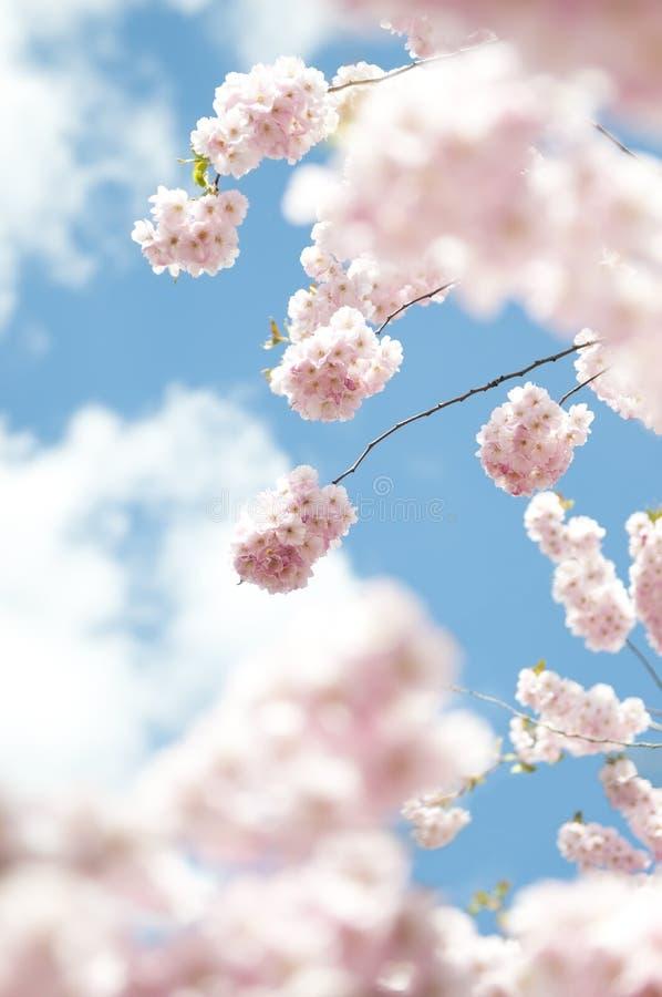 开花樱桃春天结构树 免版税库存图片