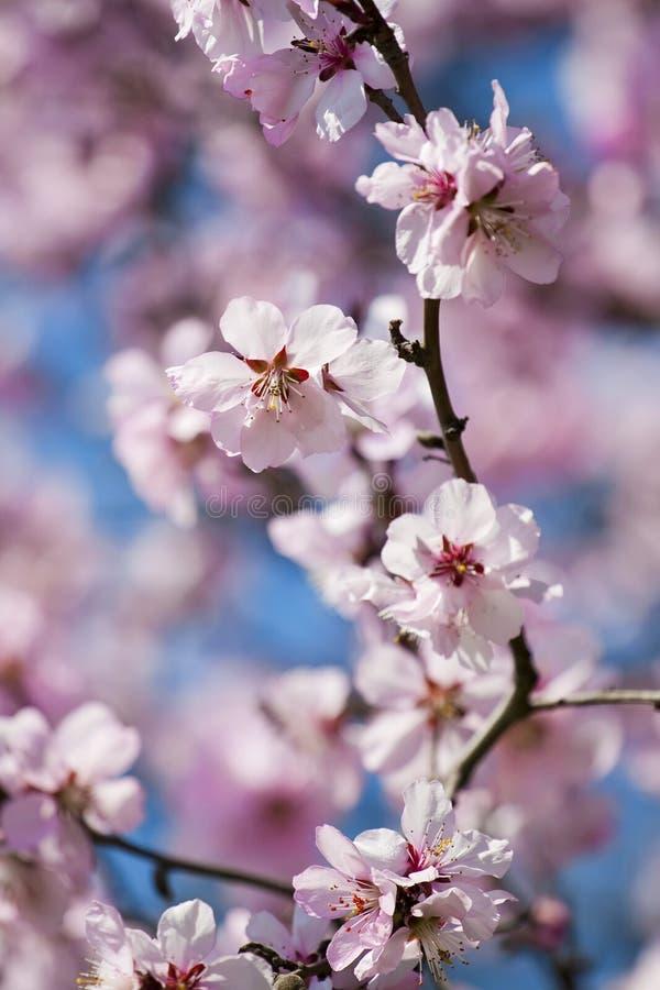 开花樱桃春天 图库摄影