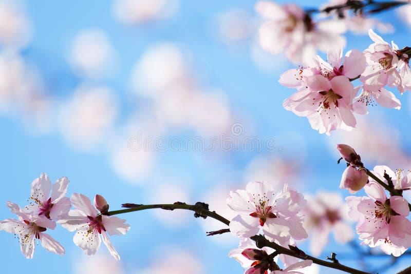 开花樱桃春天 库存图片