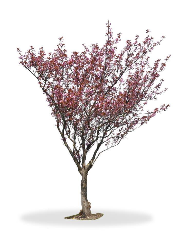 开花樱桃树 免版税图库摄影