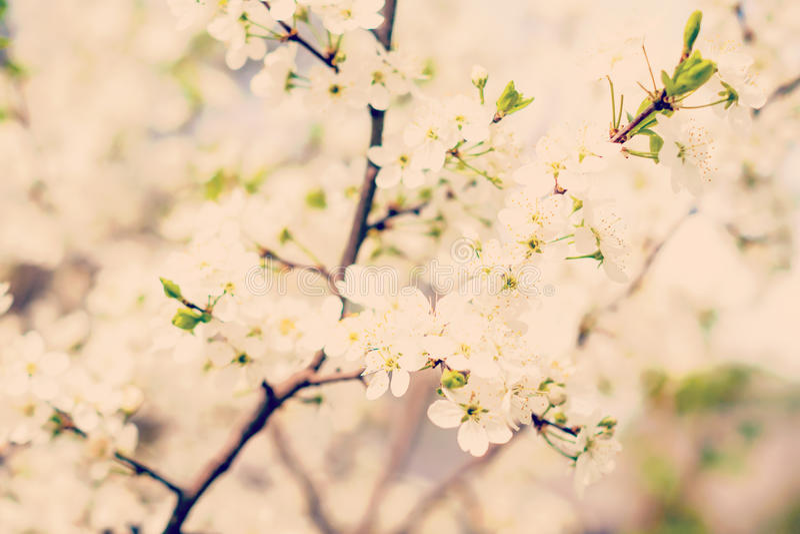 开花樱桃树 库存图片