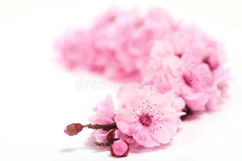 开花樱桃深度极其春天结构树 库存照片