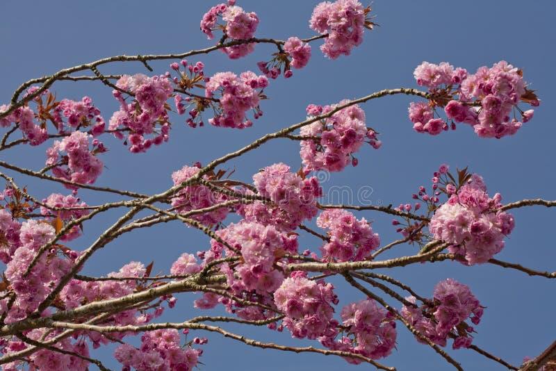 开花樱桃粉红色结构树 免版税图库摄影