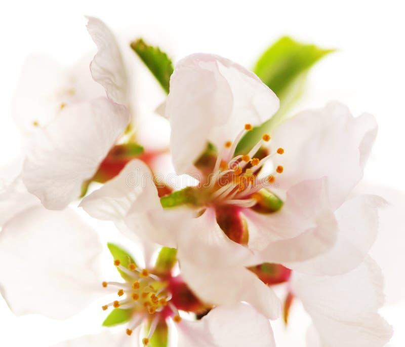 开花樱桃粉红色 图库摄影
