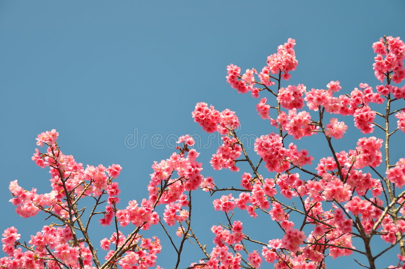 开花樱桃粉红色 库存照片