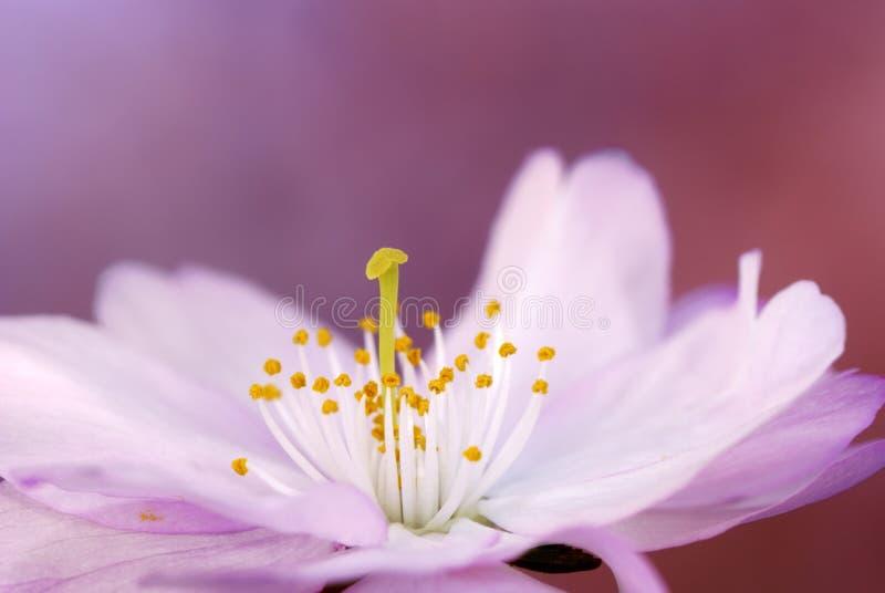 开花樱桃粉红色 免版税图库摄影