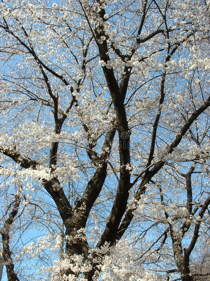 开花樱桃纵向 图库摄影