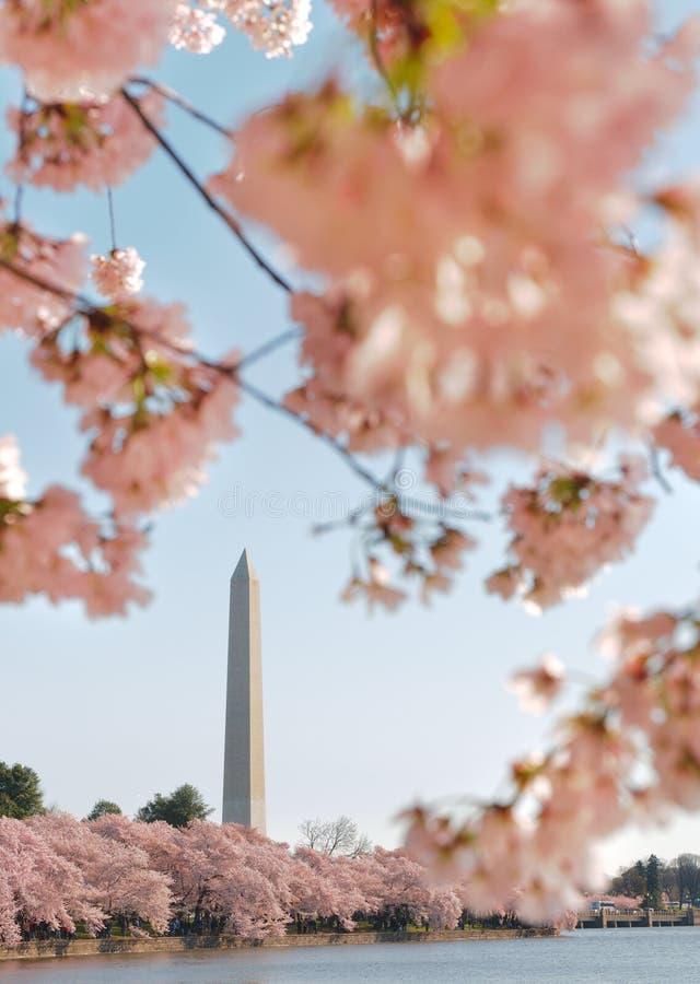 开花樱桃节日纪念碑华盛顿 库存图片