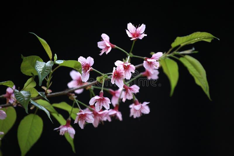 开花樱桃花查出的桃红色佐仓 库存图片