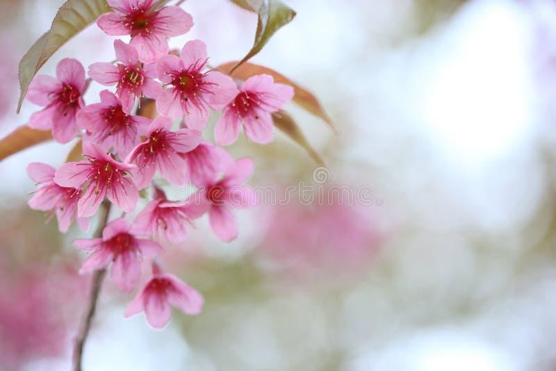 开花樱桃花粉红色佐仓 库存照片